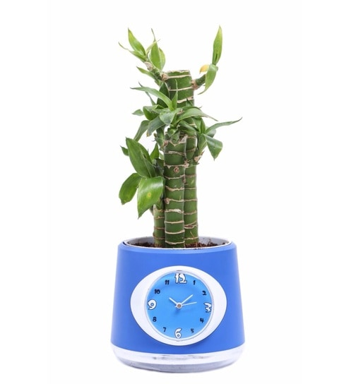 Clock Pot with Lucky Bamboo Plant